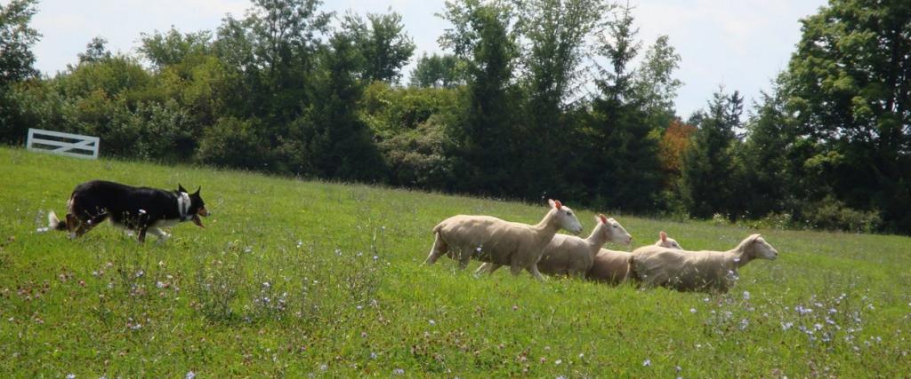 SE-Sheep-dog-trials-2